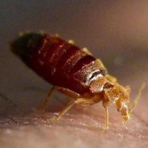 Beds bug